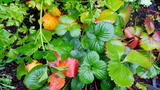 ¿Por qué las hojas del fresal se vuelven rojas?